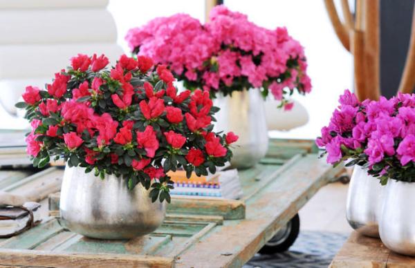 Azalee schöne dekorative Pflanzen verschiedene Blütenfarben ein Blütenmeer zu Hause