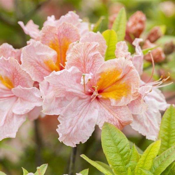 Azalee schöne lachsrosa Blüten auffallend Magnet für die Augen
