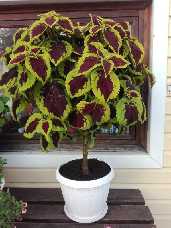 Buntnessel Pflege Tipps und Wissenswertes über den farbenfrohen Blickfang bonsai training nessel