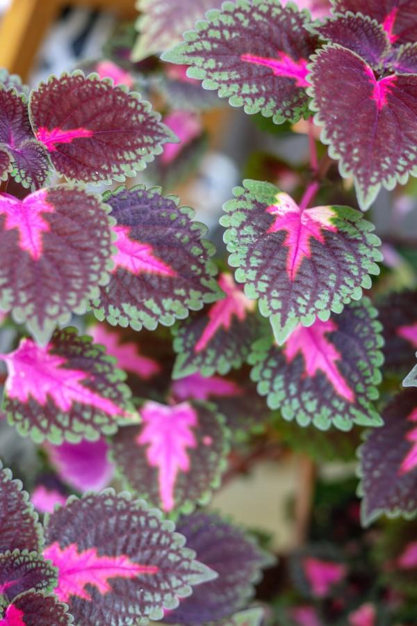 Buntnessel Pflege Tipps und Wissenswertes über den farbenfrohen Blickfang klassische farbkombi lila