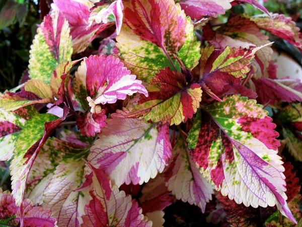 Buntnessel Pflege Tipps und Wissenswertes über den farbenfrohen Blickfang mehrfarbige sorten kübelpflanzen