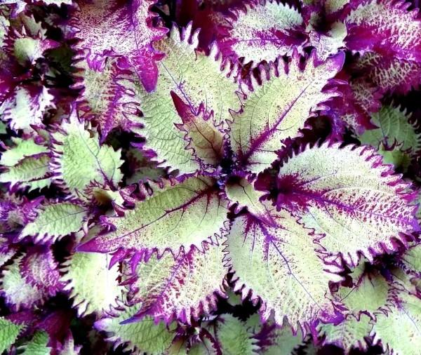 Buntnessel Pflege Tipps und Wissenswertes über den farbenfrohen Blickfang weiß lila sorte wellig