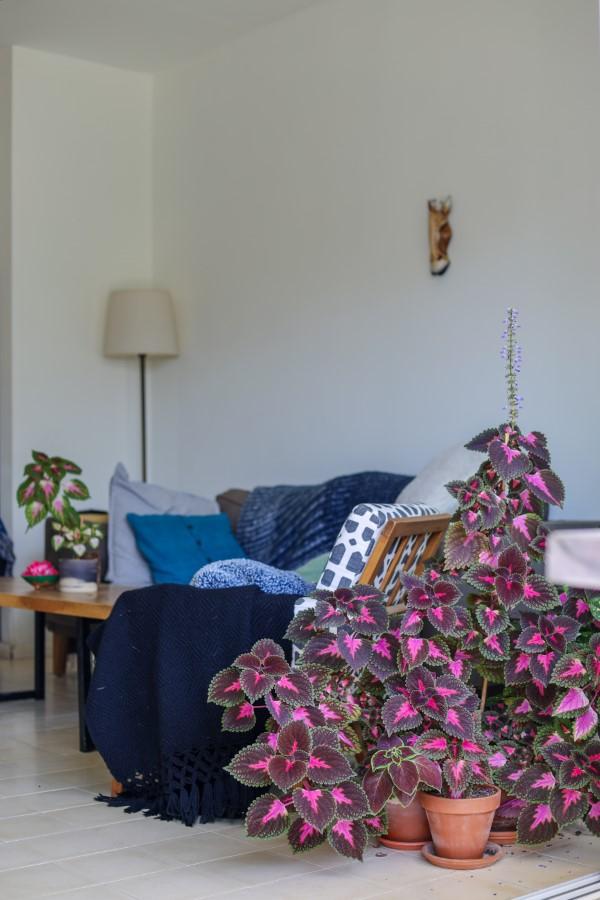 Buntnessel Pflege Tipps und Wissenswertes über den farbenfrohen Blickfang wohnzimmer deko pflanze