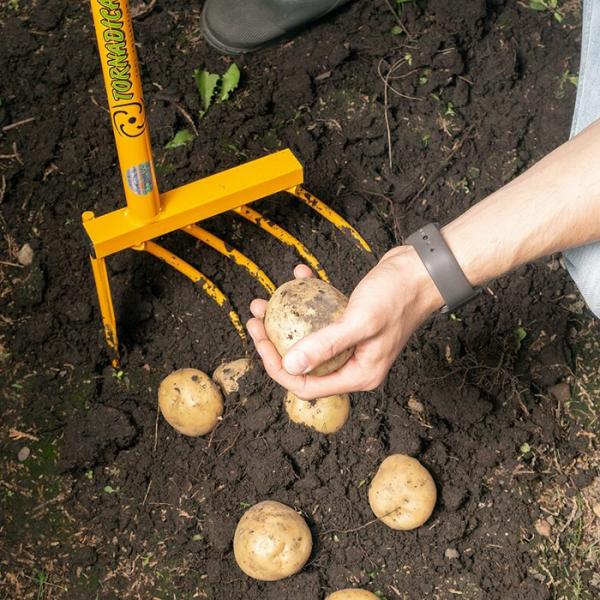 Garten im Sommer Kartoffelernte Kartoffeln mit einer Grabegabel herausgraben die Knollen nicht beschädigen