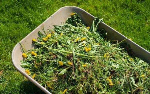 Garten im Sommer Löwenzahn für einige ein Unkraut für andere eine Heilpflanze im Sommergarten