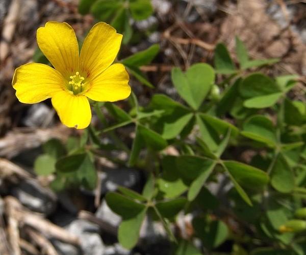 Hornsauerklee verwendet natürliche Hausmittel und umweltfreundliche Methoden, um kleine gelbe Blüten zu bekämpfen