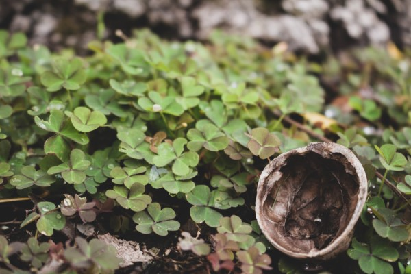 Sauerklee bekämpfen Oxalis im Wald mit natürlichen Hausmitteln und umweltfreundlichen Methoden