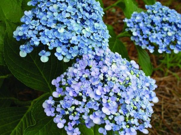 Hortensien pflegen blühende Gartenpflanzen Sommerpflanzen