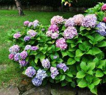 Wann blühen Hortensien und aus welchen Gründen blühen sie nicht?