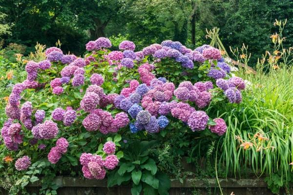 Hortensien pflegen blühende Gartenpflanzen