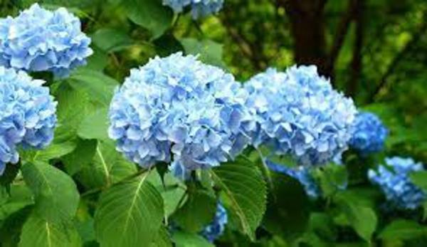 Hortensien pflegen schneiden und düngen blühende Gartenpflanzen