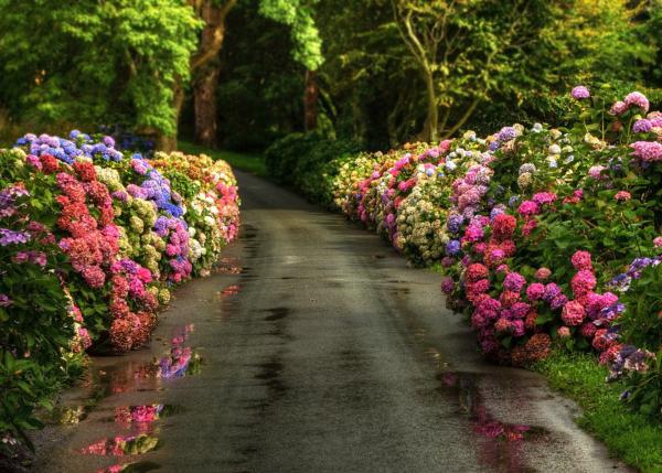Hortensien zum Blühen bringen Allee schöne Blüten beiderseits in Rosa und Blau schöner Anblick