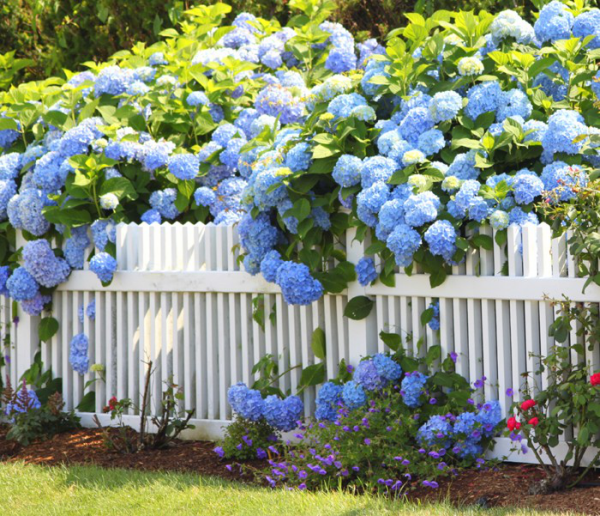 Hortensien zum Blühen bringen Gartenzaun viele Hortensien herrliche blaue Blüten Blickfang