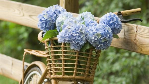 Hortensien zum Blühen bringen Korb mit blauen Blüten herrliche Gartendeko