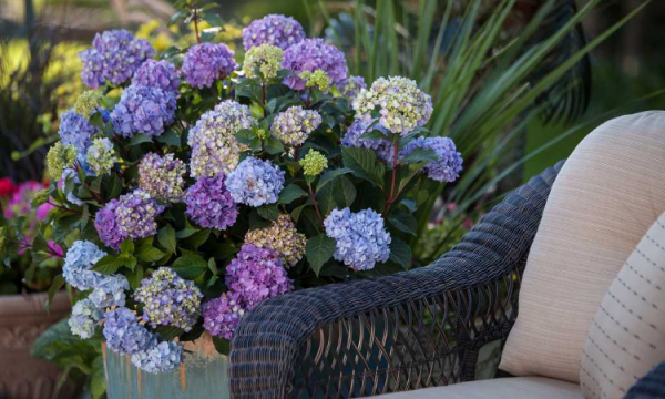 Hortensien zum Blühen bringen Sitzecke im Freien Flechtsessel daneben schöne Hortensien prächtige Blüten romantische Atmosphäre