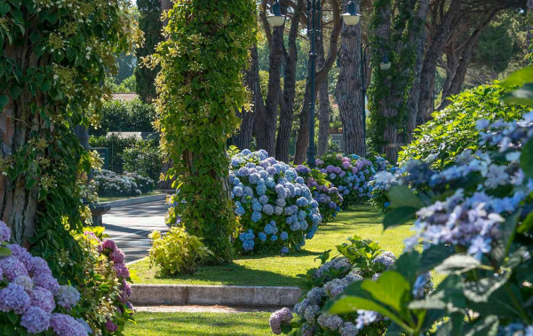 Hortensien zum Blühen bringen gut gepflegter Garten blaue Blüten bringen viel Farbe und natürlichen Charme