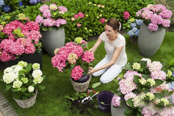 Hortensien zum Blühen bringen junge Frau beim Umtopfen richtige Pflege bringt schöne Blüten