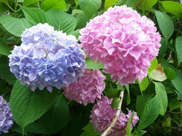 Hortensien zum Blühen bringen prächtige Blüten in Hellblau und Rosa ein Genuss für Augen und Seele