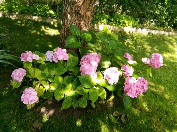 Hortensien zum Blühen bringen rosa Blüten an einem halbschattigen Platz unter einem Baum