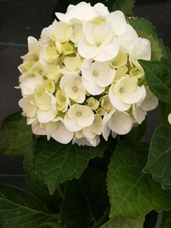 Hortensien zum Blühen bringen sattgrüne Blätter weiße Blüten schöner Anblick
