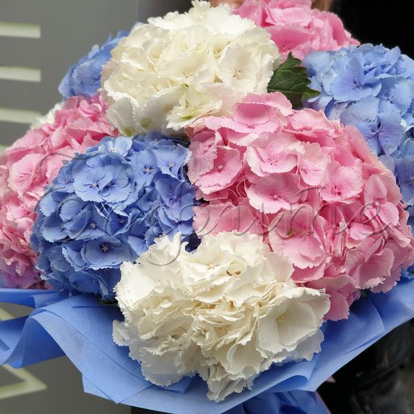 Hortensien zum Blühen bringen schöne Blüten zum Blumenstrauch zusammengebunden