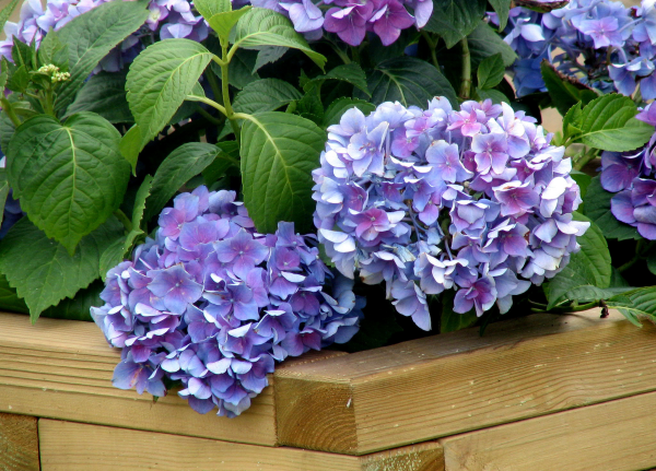 Hortensien zum Blühen bringen schöne blaue Blüten die Gartenpflanze bedankt sich damit für die Pflege