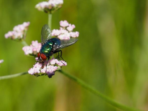 Natürliche Methoden und Hausmittel gegen Fliegen sowie weitere hilfreiche Tipps für Fliegenbestäuber