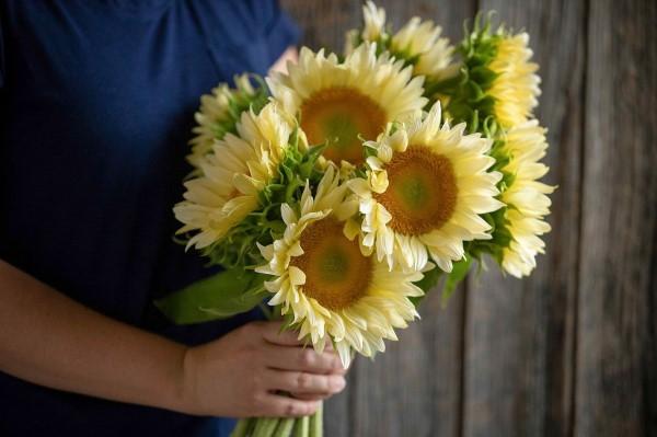 Sonnenblumen Pflege Tipps und Wissenswertes über die sommerliche Zier- und Nutzpflanze creme farbene blumen hübsch