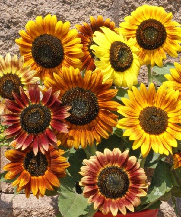 Sonnenblumen Pflege Tipps und Wissenswertes über die sommerliche Zier- und Nutzpflanze dekorative blumen sorten