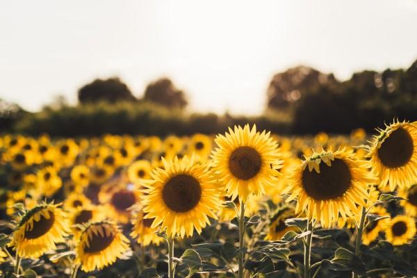 Sonnenblumen Pflege Tipps und Wissenswertes über die sommerliche Zier- und Nutzpflanze feld mit sonnenblumen