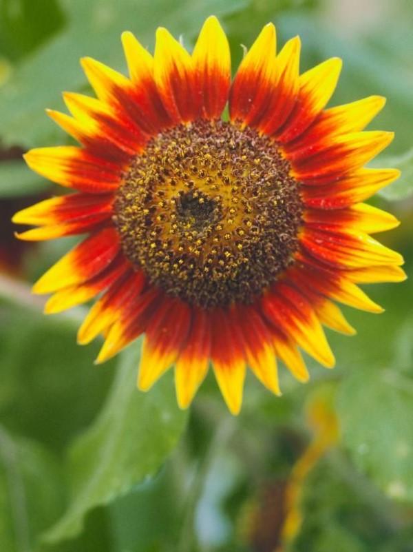 Sonnenblumen Pflege Tipps und Wissenswertes über die sommerliche Zier- und Nutzpflanze feurige farben rot gelb