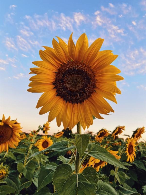 Sonnenblumen Pflege Tipps und Wissenswertes über die sommerliche Zier- und Nutzpflanze klassische blume gelb orange