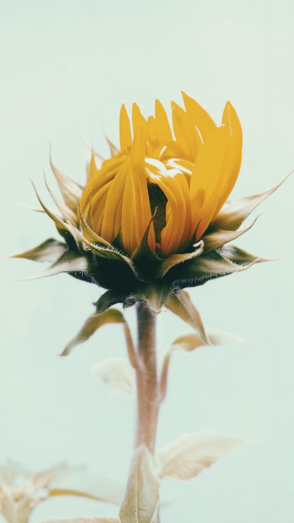 Sonnenblumen Pflege Tipps und Wissenswertes über die sommerliche Zier- und Nutzpflanze knospe öffnet sich zierpflanze