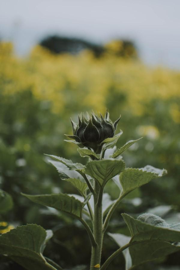 Sonnenblumen Pflege Tipps und Wissenswertes über die sommerliche Zier- und Nutzpflanze knospe sonne jungpflanze