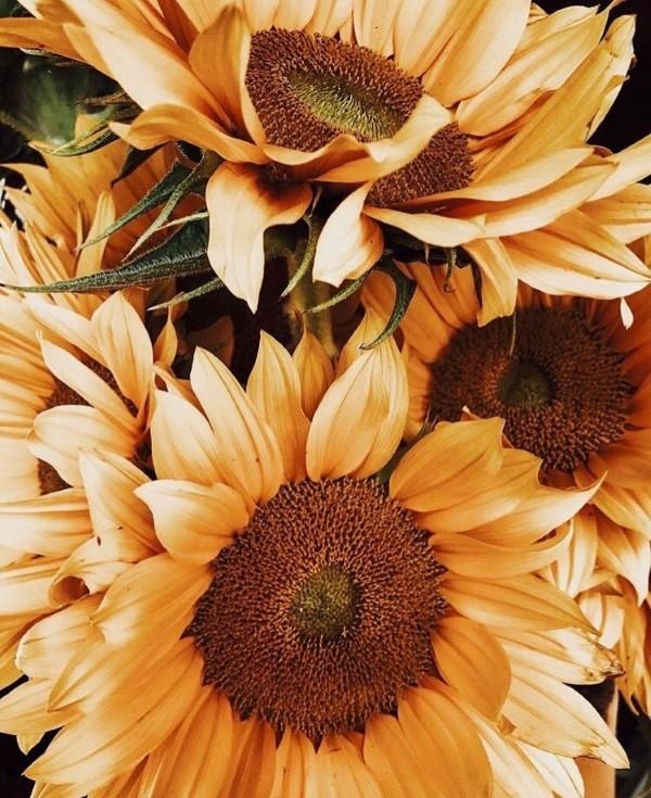 Sonnenblumen Pflege Tipps und Wissenswertes über die sommerliche Zier- und Nutzpflanze orange creme farbe sonnenrose