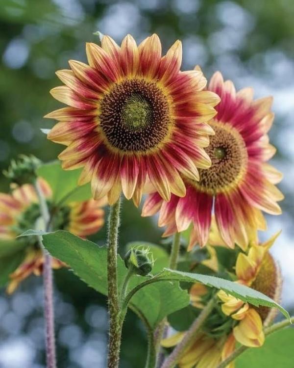 Sonnenblumen Pflege Tipps und Wissenswertes über die sommerliche Zier- und Nutzpflanze rot gelbe farben zierlich