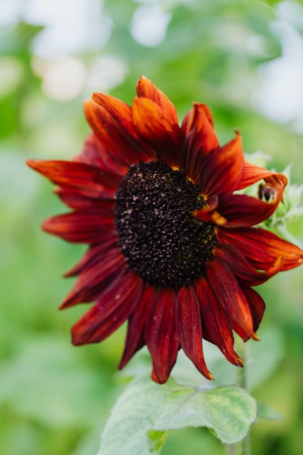 Sonnenblumen Pflege Tipps und Wissenswertes über die sommerliche Zier- und Nutzpflanze rote blumen sonnenrose