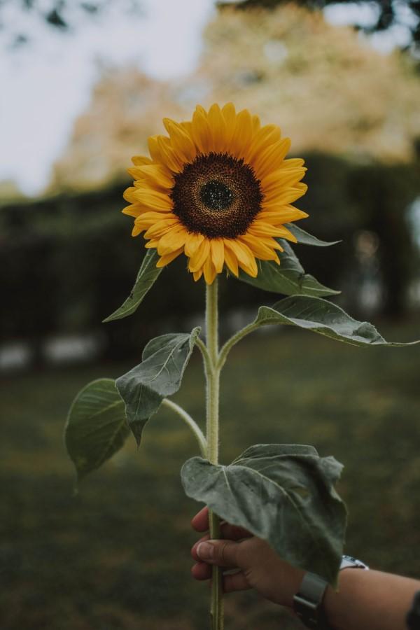 Sonnenblumen Pflege Tipps und Wissenswertes über die sommerliche Zier- und Nutzpflanze schnittblume morgens schneiden