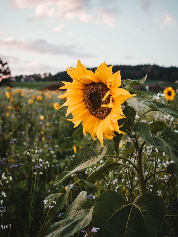Sonnenblumen Pflege Tipps und Wissenswertes über die sommerliche Zier- und Nutzpflanze sonnenblume folgt die sonne