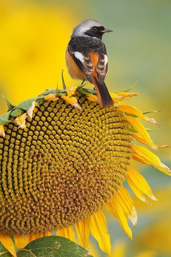 Sonnenblumen Pflege Tipps und Wissenswertes über die sommerliche Zier- und Nutzpflanze sonnenblume singvogel