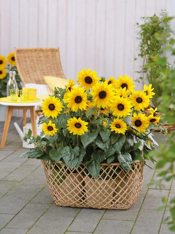 Sonnenblumen Pflege Tipps und Wissenswertes über die sommerliche Zier- und Nutzpflanze sonnenblumen im topf züchten balkon