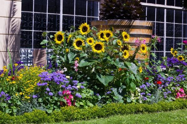 Sonnenblumen Pflege Tipps und Wissenswertes über die sommerliche Zier- und Nutzpflanze sonnenblumen mit anderen zierblumen im garten