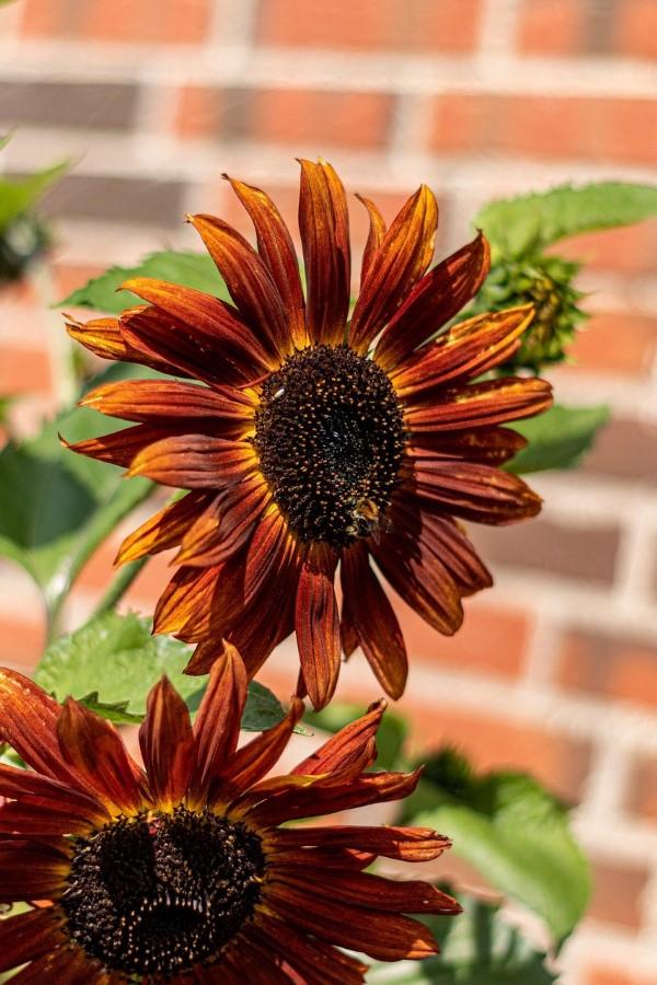 Sonnenblumen Pflege Tipps und Wissenswertes über die sommerliche Zier- und Nutzpflanze sonnenrose rot hübsch