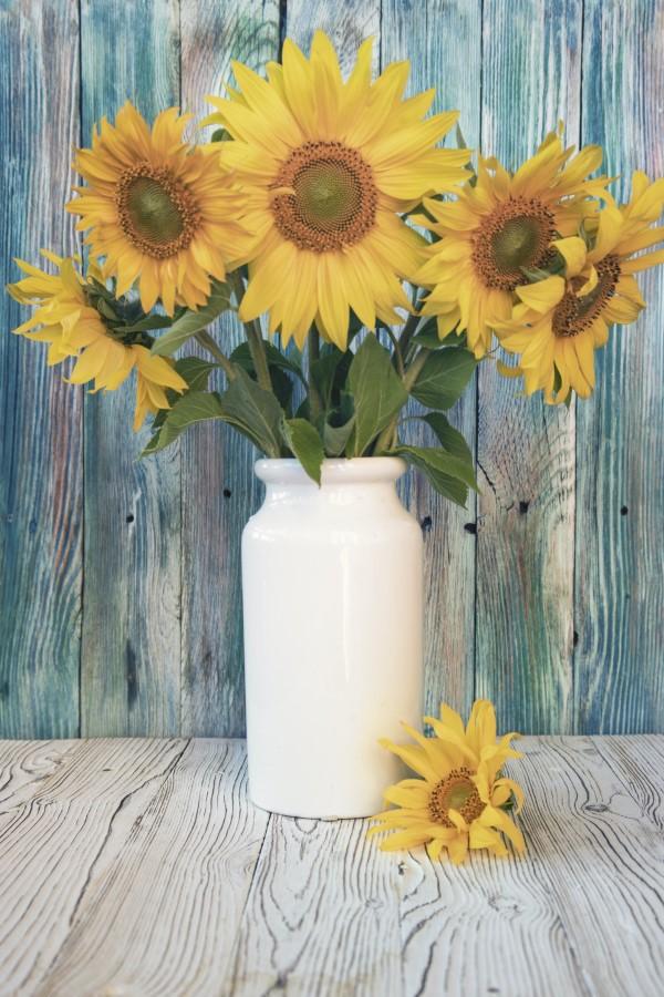 Sonnenblumen Pflege Tipps und Wissenswertes über die sommerliche Zier- und Nutzpflanze zierblume als schnittblume