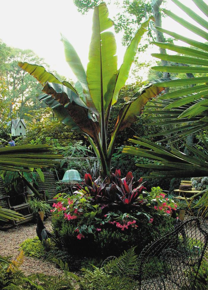 Trockenkünstler im Garten Bananenpalme nur mit Vorsicht gießen einen exotischen Touch exotic