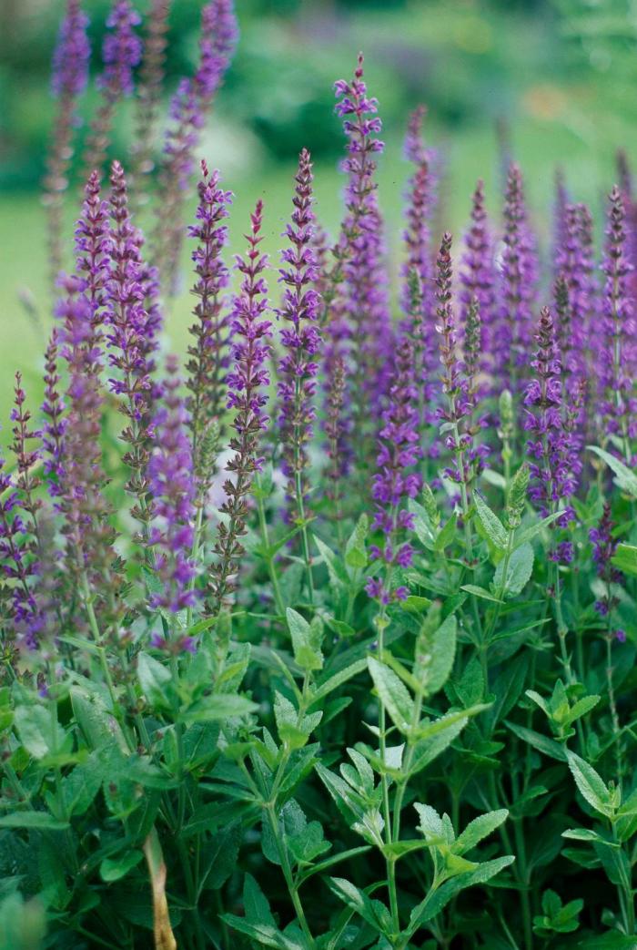 Trockener Künstler im Garten Schwarzer und blauer Salvia Salbei Interessante Blätter schlanke violette Blütenstände