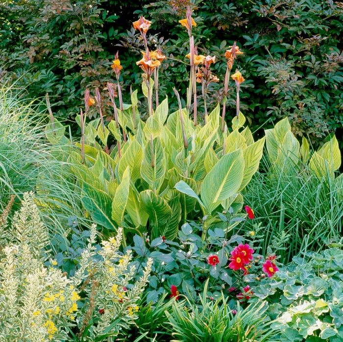 Trockenkünstler im Garten Canna oder Blumenröhre große grüne Blätter leuchtend gelb-orange Blüten tropischer Look