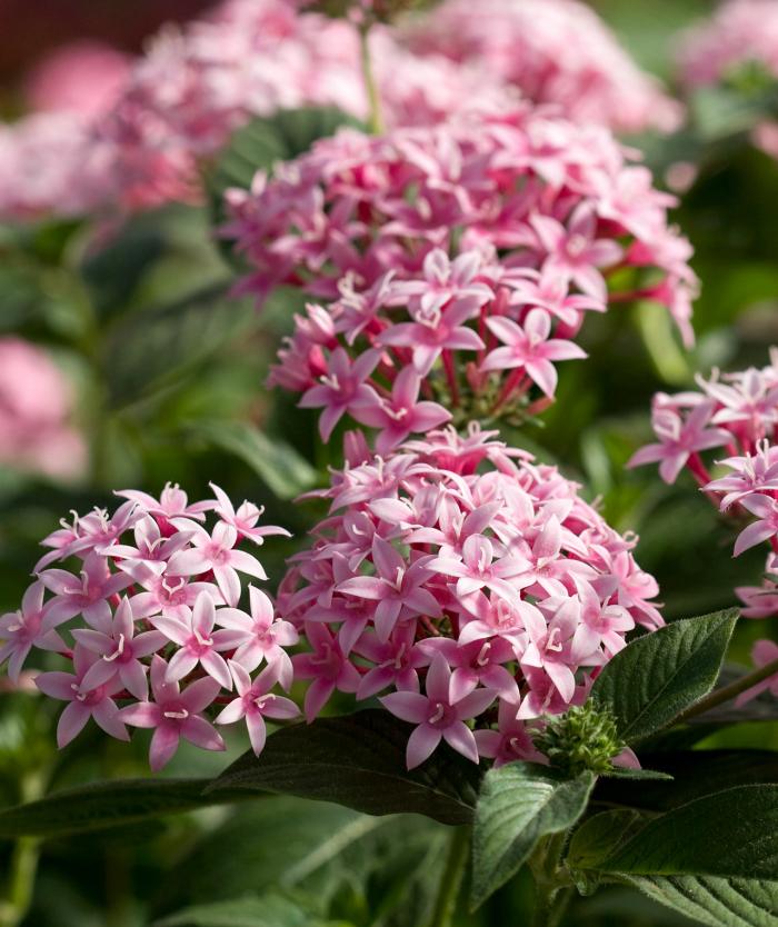 Trockenkünstler im Garten fünfzähliger Strauch Pentas schöne Blüten in zartem Rosa