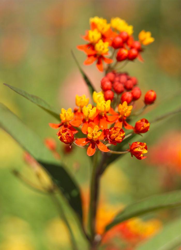Trockener Künstler im Garten Indische Seidenpflanze dürretolerante exotische Orangenblüten