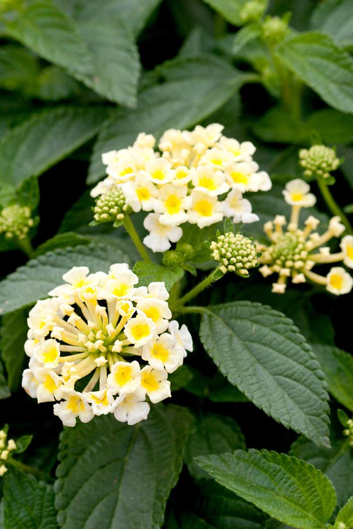 Trockener Künstler im Garten Lantana Cabrio Rose schöne weiße Blüten